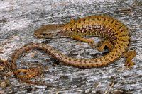 Shasta Alligator Lizard
