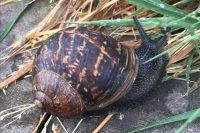 European Garden Snail