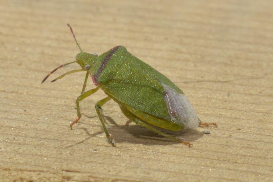 Stink Bug