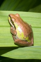 Pacific Tree Frog (green/copper version)