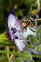 Female Eupeodes fumipennis