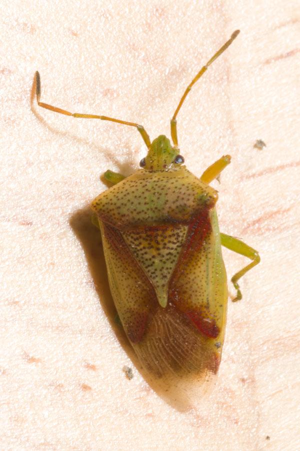Red-Cross Shield Bug